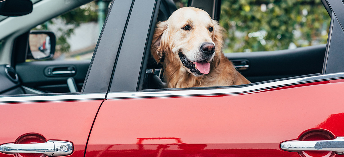 It's possible to keep a new car clean and have a dog in your car